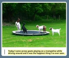 Goats on a trampoline