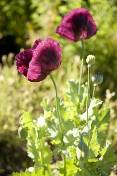 The papery petals of this Poppy looked like stained glass!