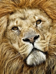 """""""King of Beasts"""" by Lee Crawley  #animals #lion #portrait"""