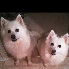 Please pass this along - these precious dogs need a new home.  Contact is Caroline Wittle - wittle13@yahoo.com. I have been referred to you by my vet for adoption/rescue of my two American Eskimo dogs, Shelby and Scout.  Shelby (30 lbs) is a female, Scout (35 lbs) is a male and they were spayed/neutered when they were puppies.  They just turned 10 yrs old last week.  They are current on vaccines but over due by a few months on heartworm prevention. Unfortunately, I am moving out of the area…