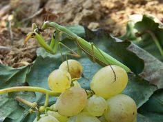 Imádkozó sáska 010. Fruit, Nature, Naturaleza, The Fruit, Natural, Scenery