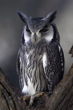 a beautiful owl . Beautiful Owl, Animals Beautiful, Cute Animals, Wild Animals, Owl Photos, Owl Pictures, Nocturnal Birds, Owl Bird, Tier Fotos