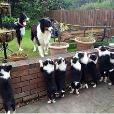 """Can everyone say """"Awwwwww! I see a Whole Lot of Border Collie Puppies! Perros Border Collie, Border Collie Puppies, Collie Dog, Border Collies, Rough Collie, Cute Puppies, Cute Dogs, Dogs And Puppies, Doggies"""