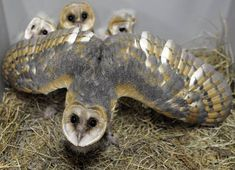 Barn owl in defense mode protecting her chicks.