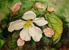 Kirschblüten als Motiv für die Aquarellmalerei | Apfelblüten (c) Miniatur in Aquarell von Frank Koebsch