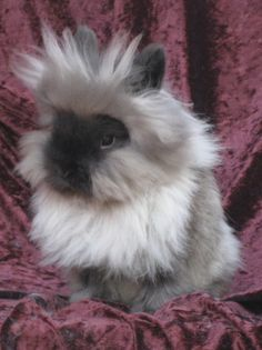 Lionhead rabbits - Yahoo! Search Results
