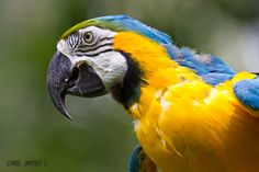 Blue-and-yellow Macaw Costa Rica(Captive)