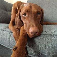 After a two hour Gundog session Vinnie is pooped! #vizsla #hungarianvizsla #velcrodog #hprdog #ginger #vizslapuppy #vizslasoftheworld #worldvizslaclub #vizslalove #vizslasarethebest #vizslasofinstagram #cutepuppy #cutedog #cheekypuppy #dogsofin