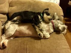 This is so cute - I can't stand it - Miniature Schnauzer sleeping on top of Standard Schnauzer.