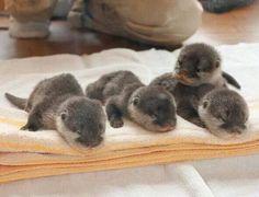 Baby Otters http://ift.tt/2kqc2RK