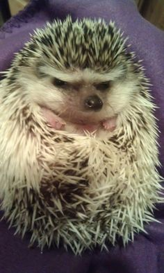 "Cory C. ""These are pictures I took of my wife's pet hedgehog, Pertwee. He is named for Jon Pertwee who played the third Doctor on Doctor Who in the 1970′s."""