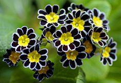Primula     Source: Flickr / dorena-wm
