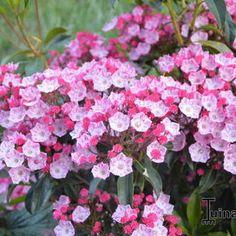 Kalmia Latifolia, Garden, Red, Garten, Lawn And Garden, Gardens, Gardening, Outdoor, Yard