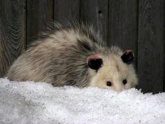 Snow opossum :)