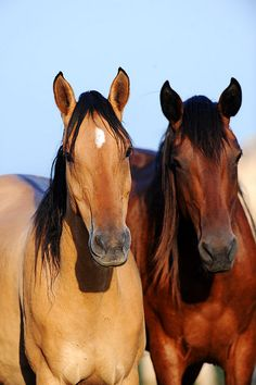 "My very first horse on the left "" Buck Skin Dun"" Named Goldie..... got him at a auction in Ariz."