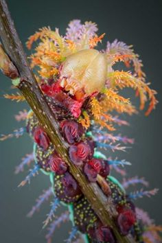 Caterpillar of Saturniidae moth - Buscar con Google