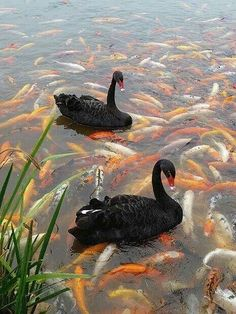 Black swans -koi fish