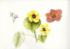 Hau. Hibiscus tiliaceus. These illustrations by Wendy Hollender appear on signage at the National Tropical Botanical Garden on Kauai to illustrate the canoe plants in their gardens.