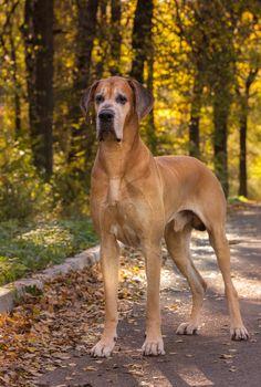 #Great #Dane | #Greatdane #dog #breed #portrait | #Danes #dogs #photo