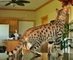 Brody F5 Male #savannahcats #exoticcats #cats