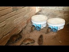 Best Mouse Trap Ever, How To Make Bucket Mouse Trap - YouTube