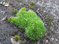 Grimmia pulvinata - děrkavka poduškovitá