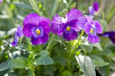 Viola 'Mariposa Violet Face' is a pansy, bearing pretty purple flowers with yellow centres. Plants are bushy and compact, and can easily be raised from seed. For best results keep plants well watered and deadhead regularly to prolong flowering.