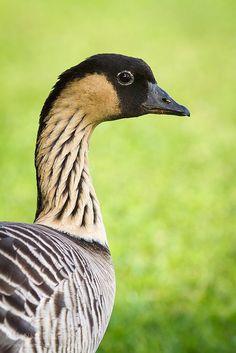 Nene, also known as Hawaiian Goose, is the official state bird of Hawaii (by Hank Christensen ) Love Birds, Beautiful Birds, Animals Beautiful, State Birds, Bird Pictures, Exotic Birds, Birds Of Prey, Wild Birds, Bird Watching