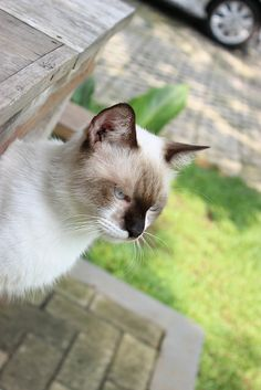 Kucing tetangga