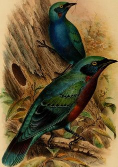 """page 81 of """"The birds of Africa, comprising all the species which occur in the Ethiopian region"""" (1896)"""