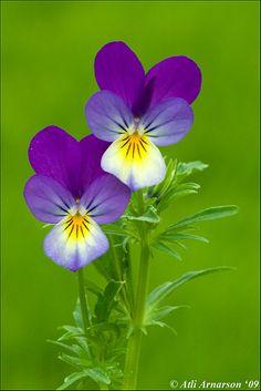 Heartsease (wild pansy, Viola tricolor) in Selfoss, Iceland.   Heartsease is a…