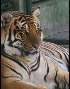 Majestic,  Tiger kingdom Phuket Thailand