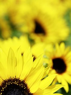 the sunflower patch at the Bellagio Conservatory and Botanical Gardens, Las Vegas | photo taken by Jackie