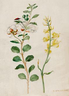 Sybilla Maria Merian, attr., botanical study, 1693. Parchment. Koller Auktionen - Alte Graphik & Zeichnungen