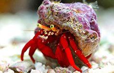 Paguristes Sp. Red (Rode heremietkreeft)