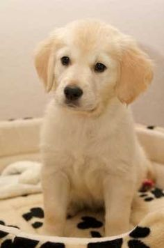 Golden Retriever puppy Aweee he looks like my baby puppy charlie Cute Dogs And Puppies, Baby Dogs, I Love Dogs, Pet Dogs, Doggies, Corgi Puppies, Labrador Puppies, Spaniel Puppies, Dogs For Sale