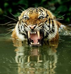 Pissed Off Tiger