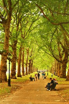 Green Park, London.  Walked this path, brought home a giant leaf from these trees.