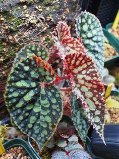 Begonia chlorosticta (Black Form)