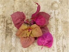 Red Orach- beautiful, supposed to be a vigorus re-seeder, and would go well in the Red Bed.