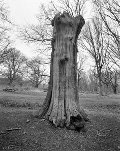 A very old looking tree in Richmond Park.  Shot in large format film.  Schneider 58mm Super Angulon XL @ f22. Ilford Delta 100. #mkhardy #largeformat #film #Ilford #London #tree #filmisnotdead #Richmond #schneider