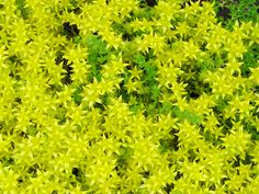 "Sedum acre, common name: Sunrise Stonecrop. With tiny golden flowers in early season and even smaller leaves this plant can fit anywhere and will grow just about everywhere. It can spread as far as you will let it. It prefers average soils and sunny locations. It can dress up walls, stone walkways, and border plantings. Grows 3"" tall, Full sun, deer resistant"