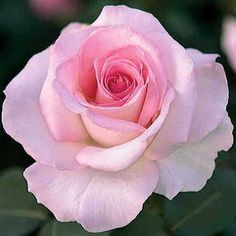 Pink Promise Hybrid Tea Rose Blooms combine all shades of soft pink. - See more at: http://www.jacksonandperkins.com