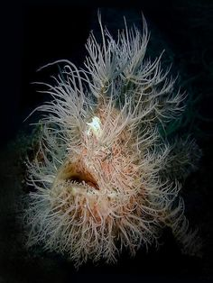 Hairy Frogfish needs a haircut! scaryfish Informations About Hairy Frogfish needs a haircut! Deep Sea Creatures, Weird Creatures, Underwater Creatures, Underwater Life, Animals Tattoo, Weird Fish, Tier Fotos, Beautiful Ocean, Sea And Ocean