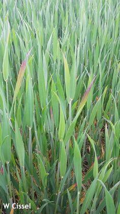 barley yellow dwarf virus – Weekly Crop Update – Cooperative Extension in Delaware Dwarf, Delaware, Extensions, Yellow, Plants, Plant, Hair Extensions, Planets, Sew Ins