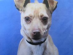 "LOST! #Burbank #sfv (Scott and Andover) Male Chihuahua ""Sparky"" Call 818-276-7029 or email patrickswife2001@yahoo.com if seen. Caramel. 6 Years old, 15. Microchipped. Not wearing a collar. Spayed/Neutered.. Lost 08-18-2014 7:30 AM. Note from owners: . Please share!  Please note, the pet's owners may not be reading the comments on this post. If you think you have found this pet, please contact the owners directly. Thank you!"