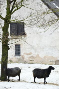 Historic Country House & Farm With Black Sheep In The French Countryside,. Nature & Art Is Divine. Alpacas, Farm Animals, Cute Animals, Baa Baa Black Sheep, Photo Animaliere, Sheep And Lamb, All Nature, Coastal Cottage, Land Art