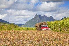 Champs de canne à sucre et d'ananas devant les montagnes
