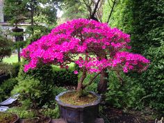 Azalea japonica... Found in garden and potted Did not know what it was until it started flowering...