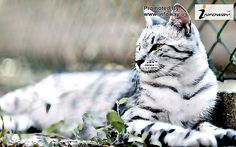 images of funny animals tiger pictures cute white cat   GREAT PRICES on pre-owned 14k Jewelry. Code: 10PERCENT for 10% off at MedallionTradingCompany.com